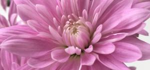 スプレー菊新品種